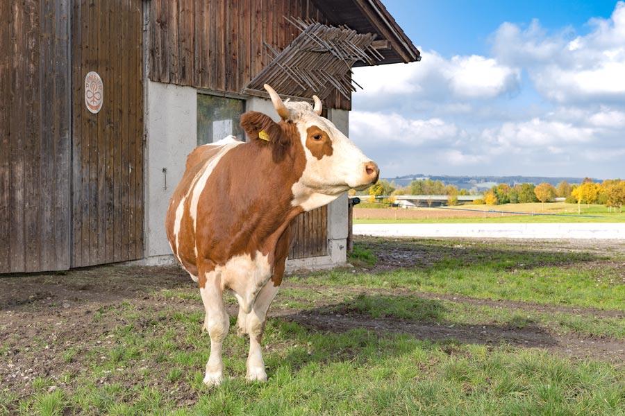 Kuh im Freien