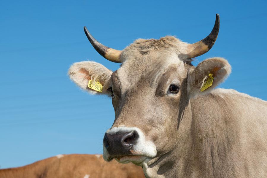 Patenschaft für Kühe vom Bauernhof Jocher